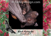 Highlight for Album: Flying-fox Postcards