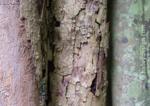 Rainforest Trees, Eungella National Park, Central Queensland